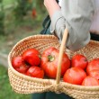 Woman holding basket of tomatoes — Stock Photo
