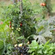 Stock Photo: Tomatoes in kitchen garden