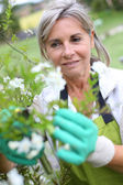 Senior woman cultivating flowers — Stock Photo