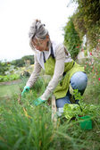 Senior woman planting herbs — Stock Photo