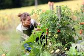 Woman picking tomatoes — Stock Photo