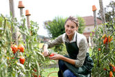 Woman picking tomatoes — Stock Photo