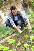Man cultivating lettuces — Stock Photo
