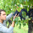 Man picking grapes — Stock Photo