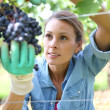 Stock Photo: Wompicking grape