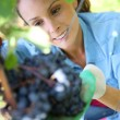 Stock Photo: Woman picking grape