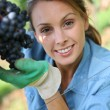 Woman picking grape — Stock Photo #35331977
