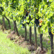 Vine row with red grapes — Stockfoto