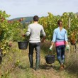 Winegrowers walking in vineyard — Stock Photo