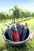 Bucket with wine bottles in vineyard — Stock Photo