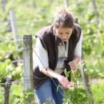 Winegrower working in vineyard — Stock Photo