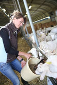 Woman breeder feeding goats — Stock Photo