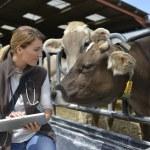 Veterinarian checking on health of herd — Stock Photo #47785461