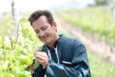 Winegrower in vineyard — Stock Photo