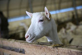 Goat inside barn — Stock Photo