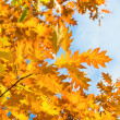 Royalty-Free Stock Photo: Autumn yellow leaves