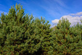 Pine and clouds on blue sky — Stock Photo