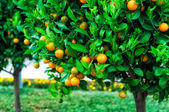 Branches with the fruits of the tangerine trees — Stock Photo