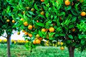 κλάδους με τους καρπούς των δέντρων μανταρίνι — Φωτογραφία Αρχείου