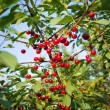 Sweet cherries hanging on the cherry tree branch — Stock Photo