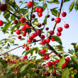 Sweet cherries with water drops hanging on the cherry tree branc — Stock Photo #33952169