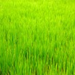 Green field with a high fresh grass — Foto de Stock