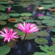 Beautiful pink lotus in the pond — Stock Photo #27169689