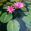 Beautiful pink lotus in the pond — Stock Photo