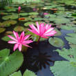 Beautiful pink lotus in the pond — Stock Photo #27169703