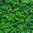 Green bush texture in the garden — Stock Photo