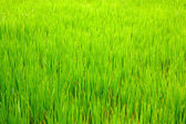 Green field with a high fresh grass — Stock Photo