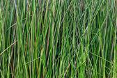 Green grass macro closeup - outdoor — Stock Photo