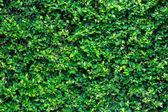 Textura verde arbusto no jardim — Foto Stock