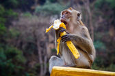 One funny monkey eats banana — Stock Photo