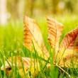 Autumn leaf on green grass. — Stock Photo