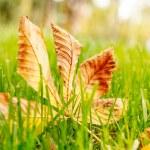 Autumn leaf on green grass. — Stock Photo