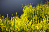 Grass in morning sunlight - background. — Stock Photo