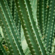 Close up of cactus. — Stock Photo #18029939