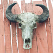 Buffalo skull on the board — Stock Photo