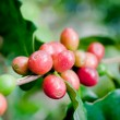 Coffee beans . - Stock Photo