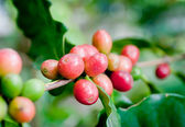 Coffee beans . — Stock Photo