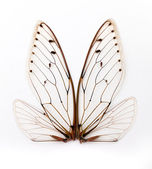 Cicada wings. — Stock Photo