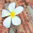 Stock Photo: Frangipani tropical flowers.