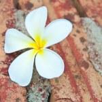 Frangipani tropical flowers. — Stock Photo