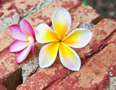 Frangipani tropical flowers. — Stock Photo