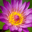 Stock Photo: Beautiful pink lotus flower .
