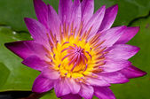 Beautiful pink lotus flower . — Stock Photo