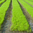 Young rice cultivate . — ストック写真