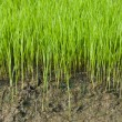 Young rice cultivate . — Foto Stock