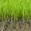 Stock Photo: Young rice cultivate .